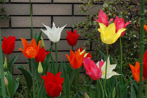 Tulips_are_fun